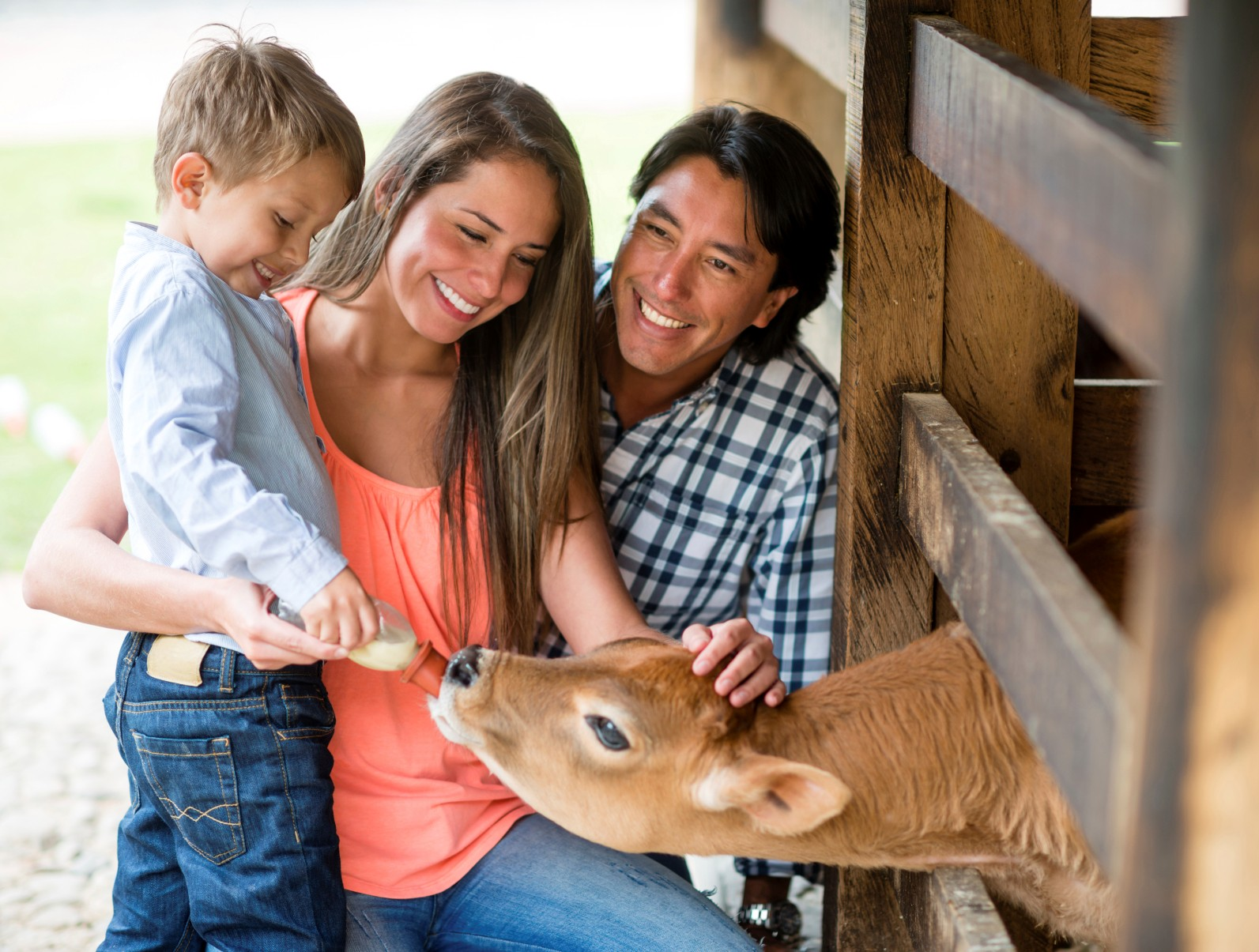 Family feeding cow